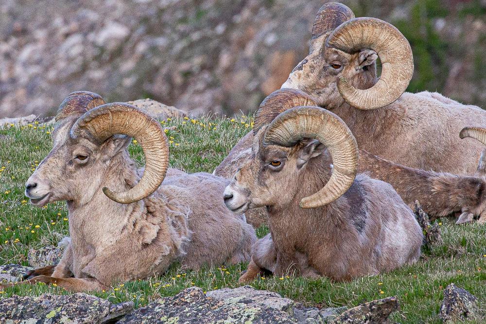 Photography Adventure, Workshop, Colorado, Rocky Mountains, Big Horn Sheep