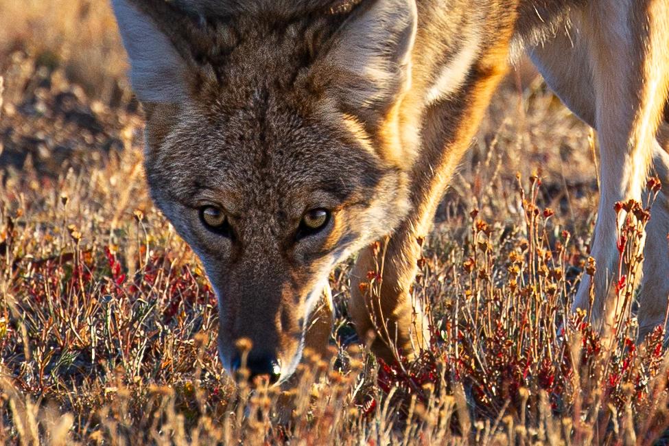 Coyote, Colorado, Rocky Mountain National Park
