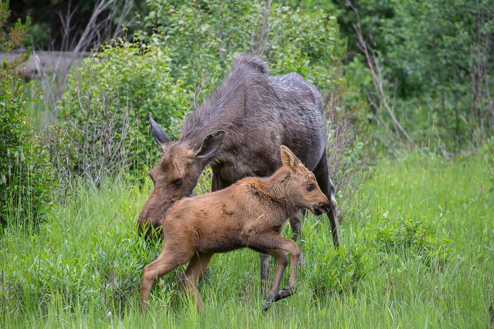 Moose, Colorado, Rocky Mountain National Park
