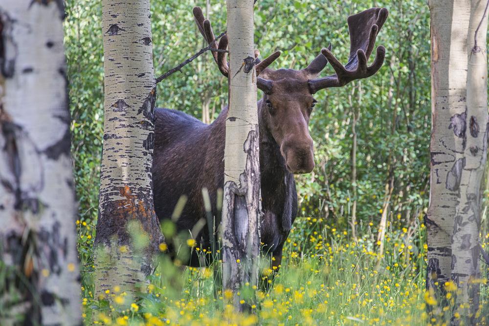 Moose, Destination Photography Workshop, Colorado, Rocky Mountain National Park