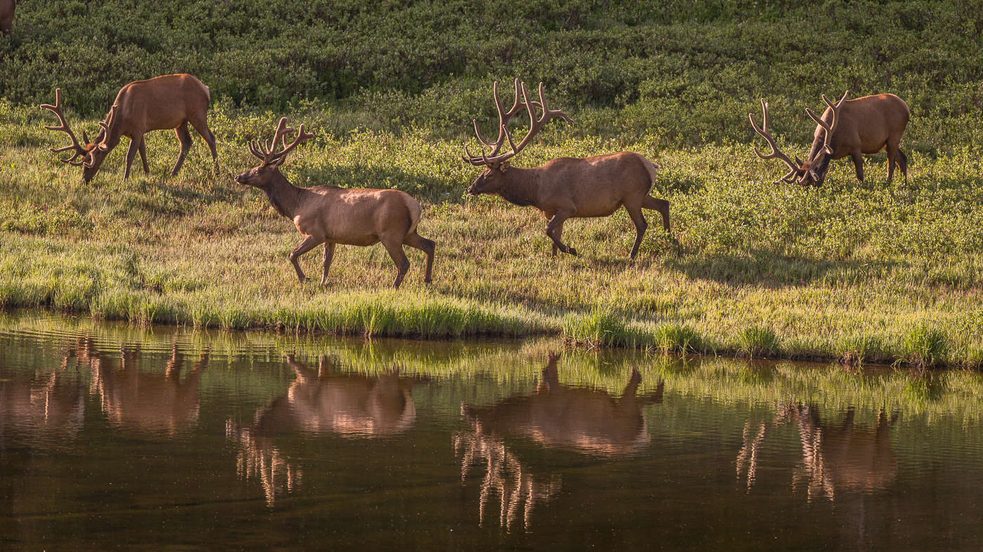 wildlife photography, elk, Rocky Mountain National Park