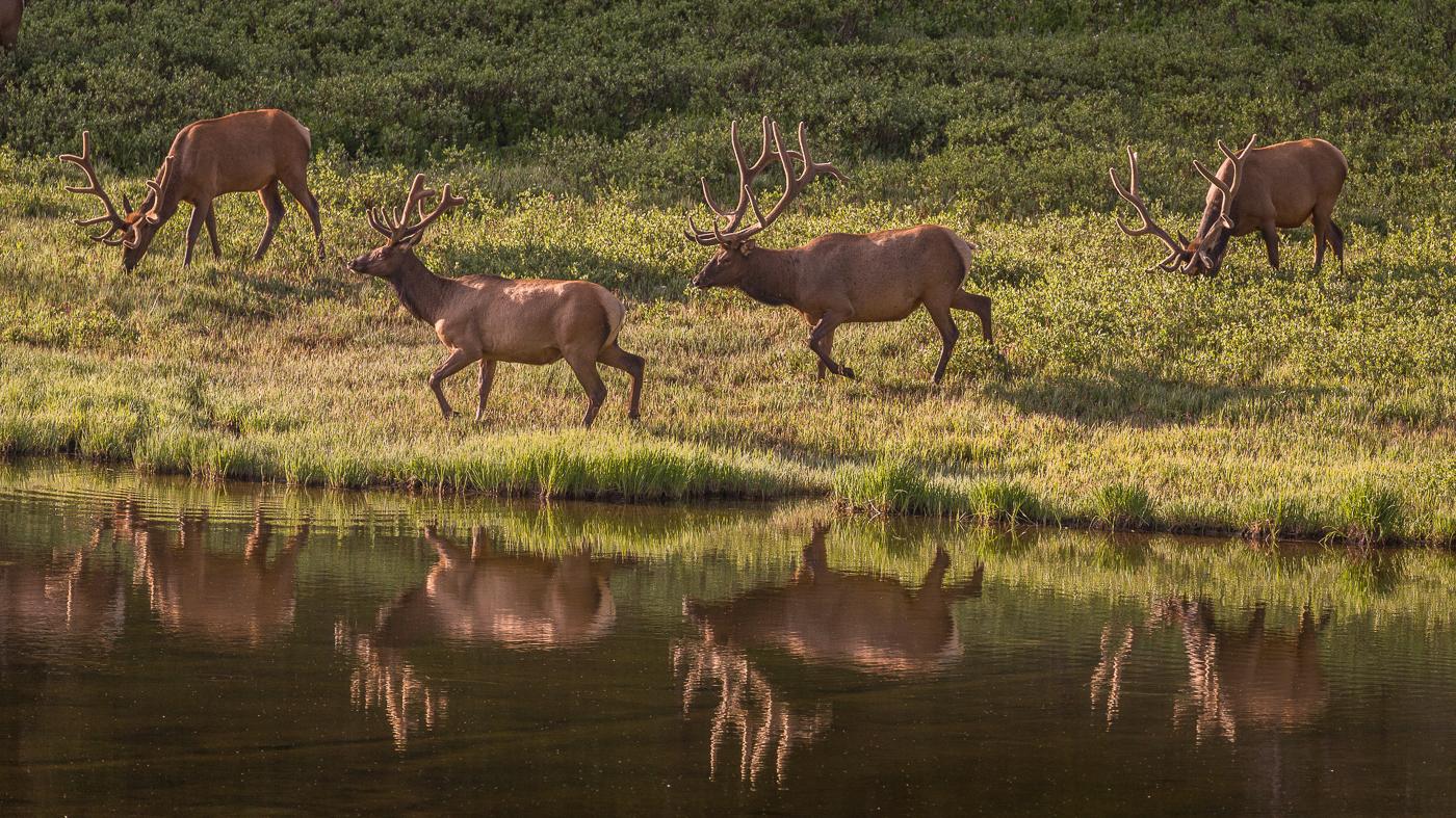 wildlife photography, elk, Rocky Mountain National Park